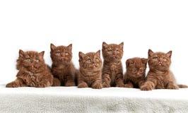 6 коричневых великобританских котят Стоковые Изображения