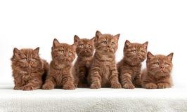 6 коричневых великобританских котят Стоковая Фотография