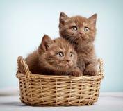 2 коричневых великобританских котят shorthair Стоковые Изображения