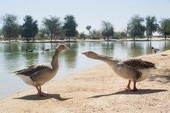 2 коричневых гусыни говоря друг с другом около озера Стоковые Изображения RF