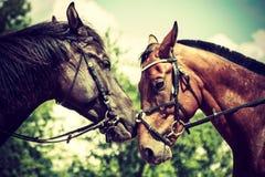 2 коричневых дикой лошади на поле луга Стоковые Фотографии RF