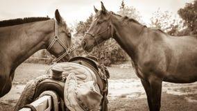 2 коричневых дикой лошади на поле луга Стоковые Изображения