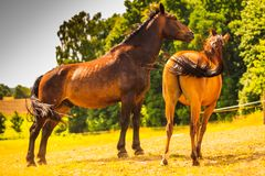 2 коричневых дикой лошади на поле луга Стоковое Фото