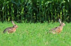 2 коричневых зайца Стоковые Изображения