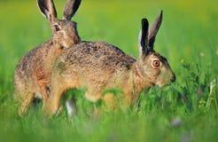 2 коричневых зайца Стоковые Изображения RF