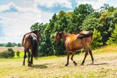 2 коричневых дикой лошади на поле луга Стоковая Фотография RF