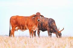 2 коричневых коровы на выгоне фермы Стоковое фото RF