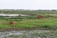2 коричневых коровы на зеленом рисе field в Hoi в Вьетнаме, Азии Стоковая Фотография