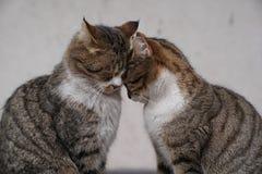 2 коричневых кота сидя и snuggling один другого Стоковые Фотографии RF