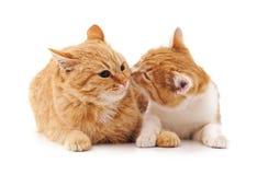 2 коричневых котят Стоковые Изображения RF