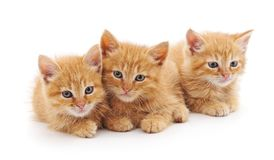 3 коричневых котят Стоковое Изображение RF
