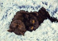 2 коричневых котят Стоковые Изображения
