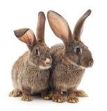 2 коричневых кролика Стоковое фото RF