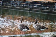 2 коричневых кряквы приближают к воде Стоковые Фотографии RF
