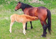 2 коричневых лошади мать и ребенок Стоковая Фотография RF
