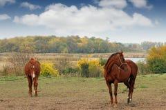 2 коричневых лошади на осени выгона Стоковая Фотография RF