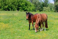 2 коричневых лошади пася на луге на солнечный летний день Стоковая Фотография