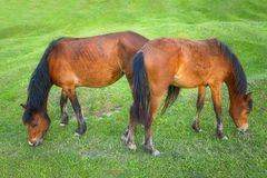 2 коричневых лошади пася Стоковые Изображения RF