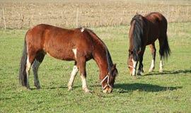 2 коричневых лошади Стоковая Фотография RF