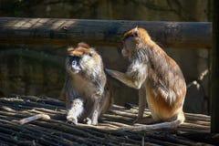 2 коричневых обезьяны холя один другого в солнце стоковые фотографии rf