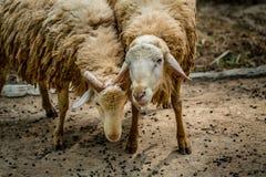 2 коричневых овцы Стоковые Фото