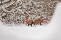 2 коричневых овцы Стоковая Фотография RF