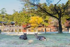2 коричневых оленя сидят на траве на виске Todai-ji, Японии Стоковая Фотография