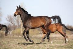 2 коричневых лошади бежать на выгоне Стоковое Изображение RF