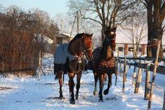 2 коричневых лошади бежать совместно Стоковое Фото