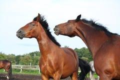 2 коричневых лошади воюя в табуне Стоковое фото RF