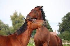 2 коричневых лошади воюя в табуне Стоковое Фото