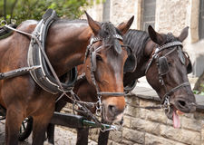 2 коричневых лошади в Праге Стоковое Изображение RF
