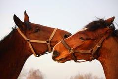 2 коричневых лошади играя совместно Стоковое Фото