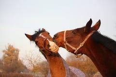 2 коричневых лошади играя совместно Стоковые Фотографии RF