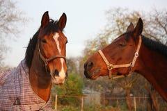 2 коричневых лошади играя совместно Стоковая Фотография RF