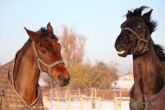 2 коричневых лошади играя совместно Стоковая Фотография
