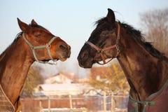 2 коричневых лошади играя совместно Стоковые Изображения