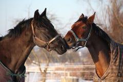 2 коричневых лошади играя совместно Стоковые Изображения RF