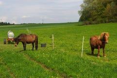 2 коричневых лошади Исландии стоя на выгоне и зеленом medow Стоковые Фотографии RF