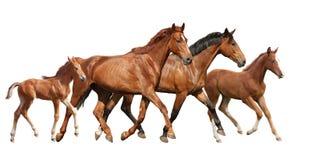2 коричневых лошади и семья 2 маленькой ослят бежать свободно Стоковое Изображение RF