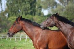 2 коричневых лошади нюхая один другого Стоковая Фотография