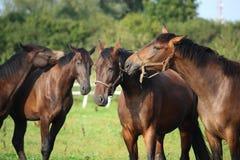 2 коричневых лошади нюхая один другого Стоковое Изображение RF