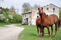2 коричневых лошади пася Стоковое Изображение RF