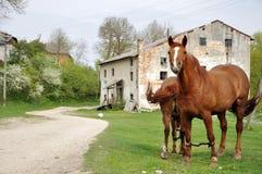2 коричневых лошади пася Стоковая Фотография