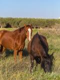 2 коричневых лошади пася Стоковые Фотографии RF