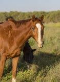 2 коричневых лошади пася Стоковые Фото
