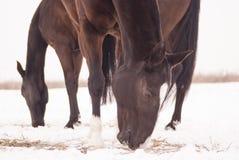 2 коричневых лошади пахнут сеном которое лежит Стоковые Фотографии RF