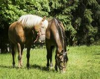 2 коричневых лошади при белая и черная грива стоя на траве Стоковые Фото
