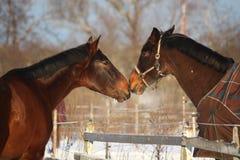2 коричневых лошади шаловливо нюхая один другого Стоковое фото RF