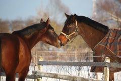 2 коричневых лошади шаловливо нюхая один другого Стоковое Фото
